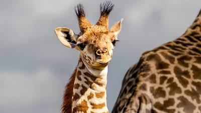 Baby Masai giraffe born at Ohio wildlife sanctuary